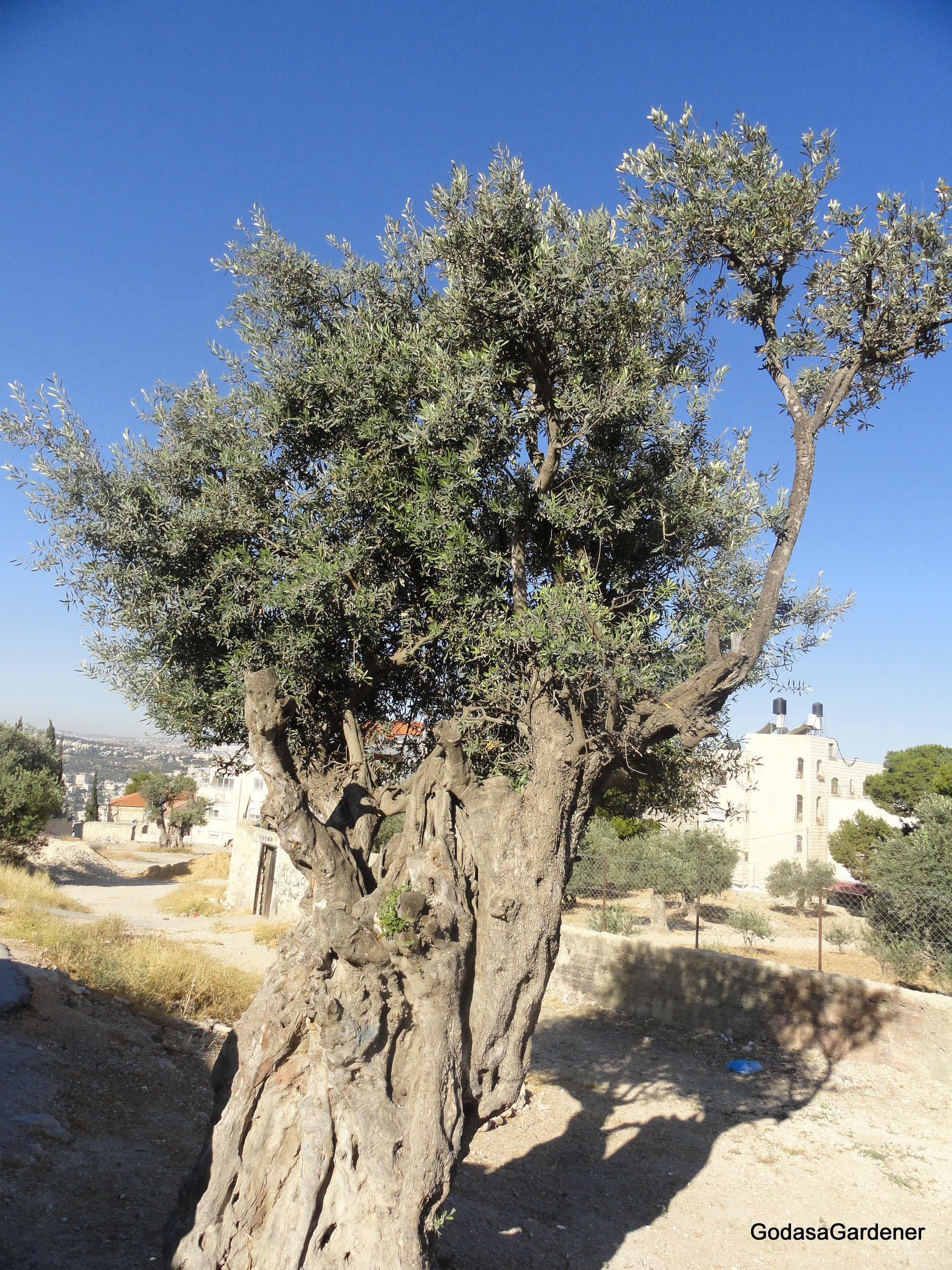 Olive Tree In The Tabernacle God As A Gardener