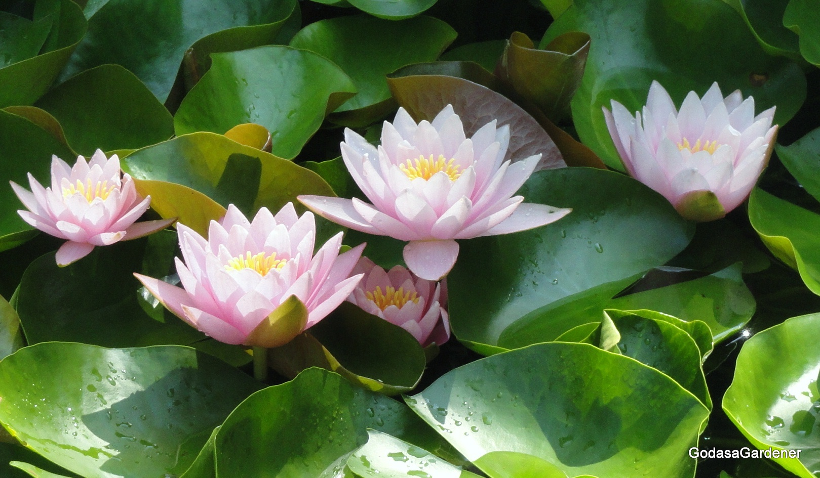 Job and the lotus plant god as a gardener job and the lotus plant buycottarizona Choice Image