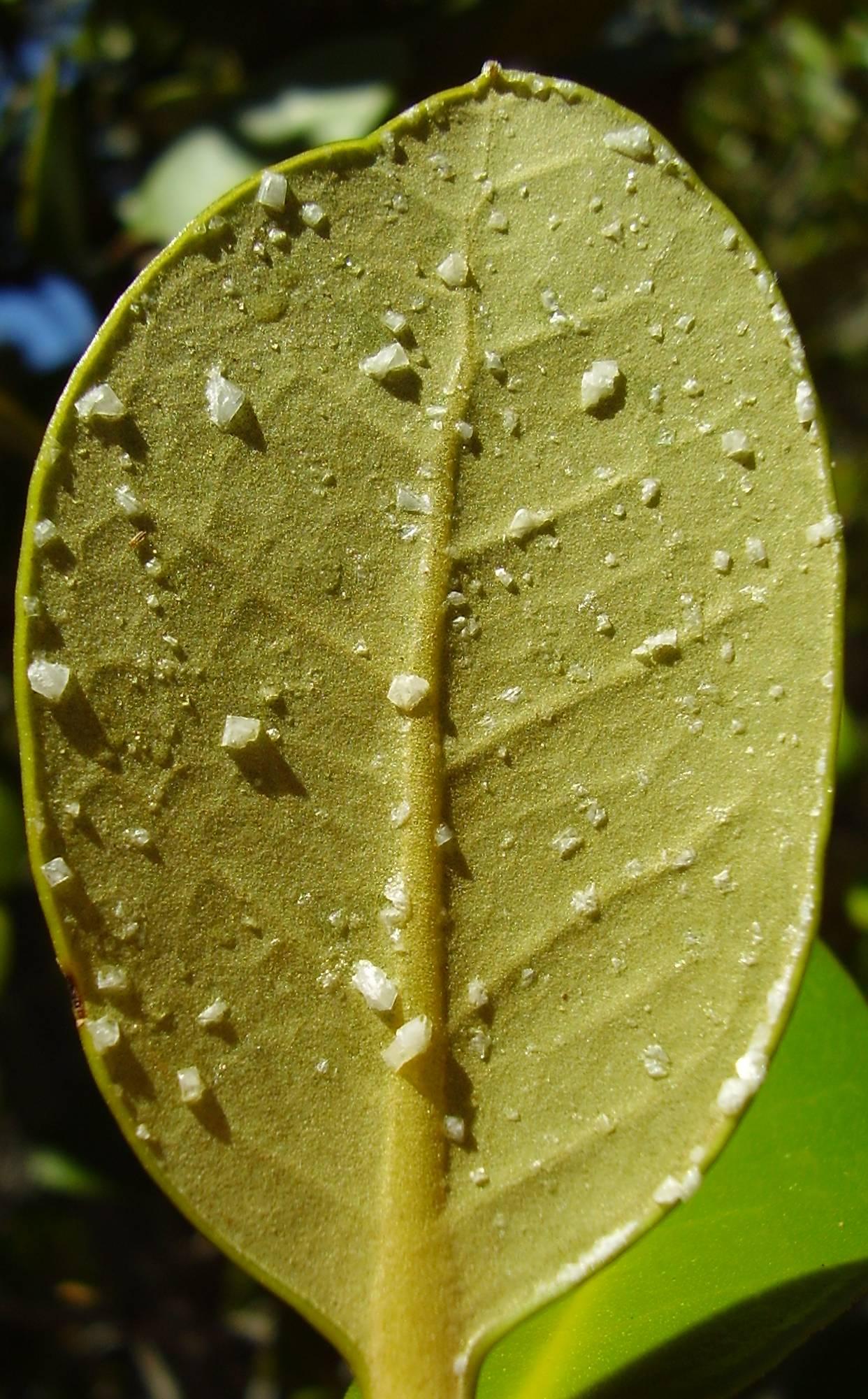 Did the Mangrove Tree De Salt Water