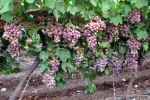 Grapes from Gimso Israel