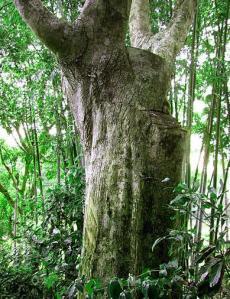 Agar tree, aloe