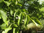 Walnut tree, JBG