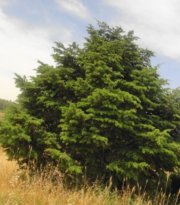 Cedar of Lebanon from Noet Kedumin, Israel, 2012