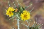 Spotted Golden Thistle