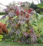 Ricinus communis (2)