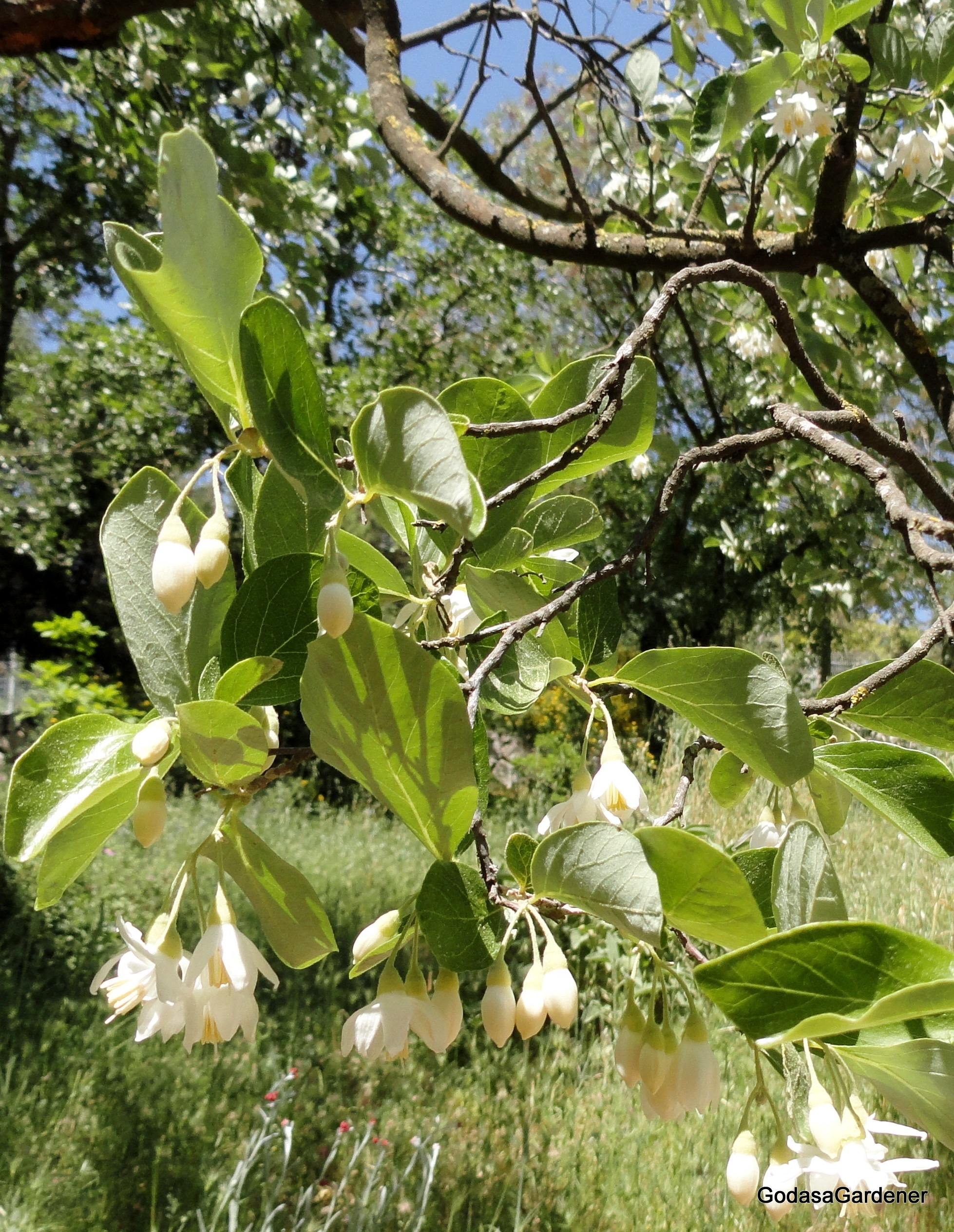 God as a gardener experiencing god through plants styrax officinalis jbg buycottarizona