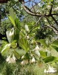 Styrax officinalis, JBG