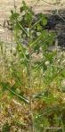 Lactuca serriola, prickly lettuce (394x800)