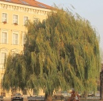 S. babylonica (2)