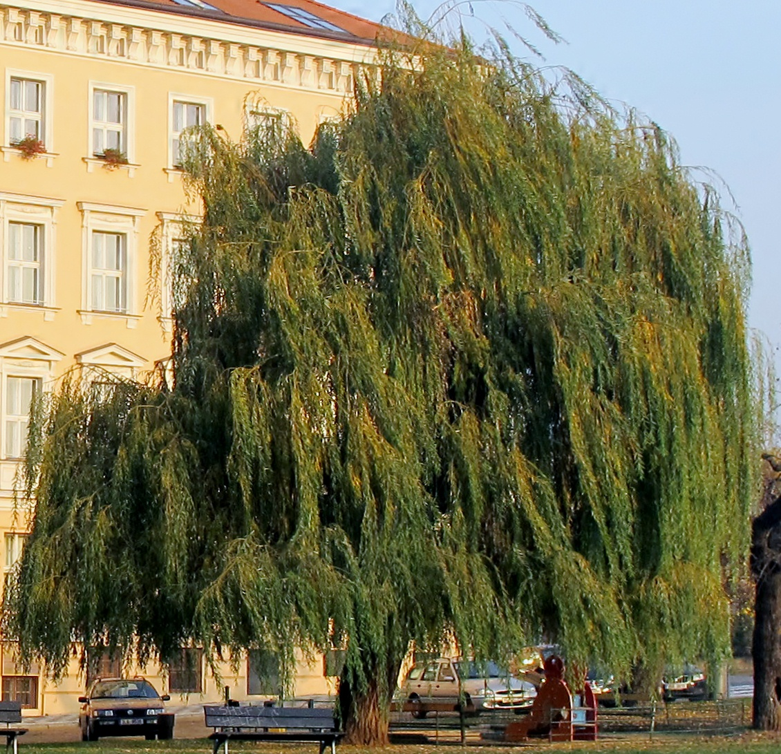 Harps on willow trees god as a gardener salix babylonica biocorpaavc Image collections