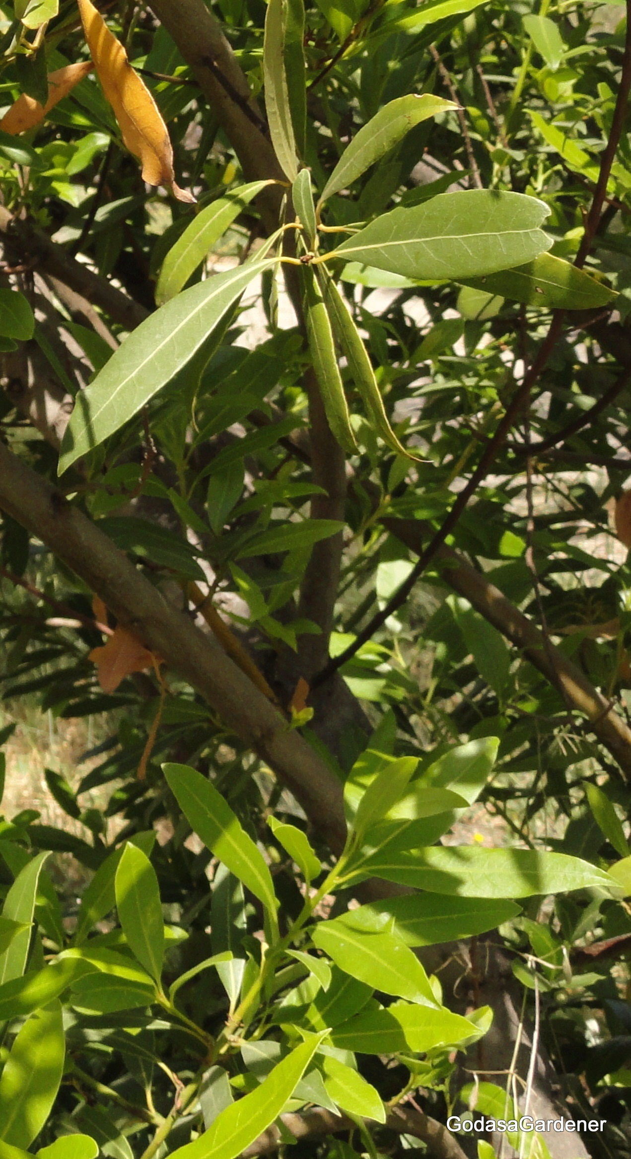 David Learns from the Laurel Tree | God as a Gardener