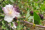 Capparis spinosa Bush