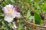 Capparis spinosa Bush