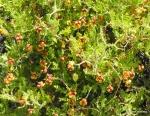 Thorny burnet