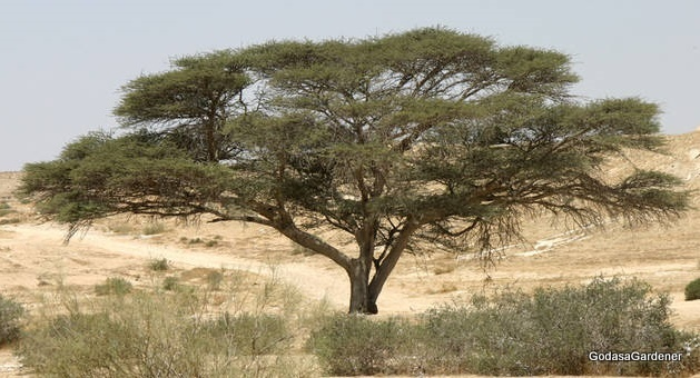 Acacia wood in the tabernacle god as a gardener