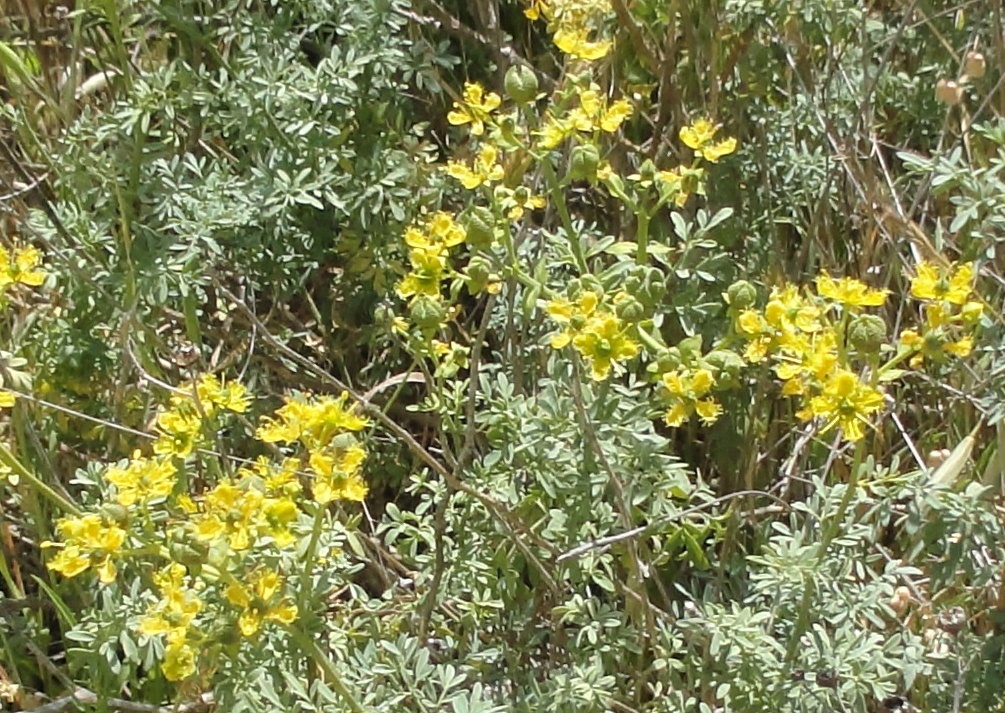 Rue, the Protective Herb | God as a Gardener