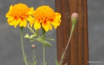 Marigold Praying Mantis