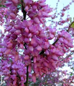Redbud tree flower