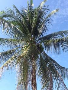 Florida coconut palm tree, fronds, coconut