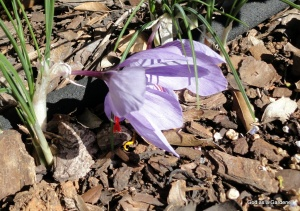 Early spring saffron crocus