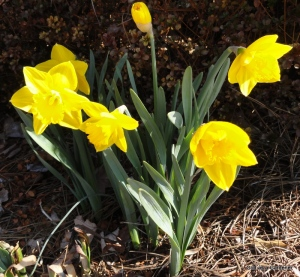 Daffodils are Spring Music