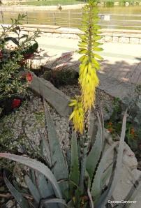 A.vera flower