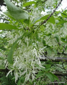 Fringe tree flowers
