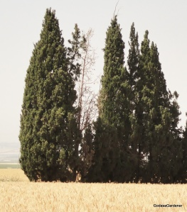 Cypress, Jezreel Valley