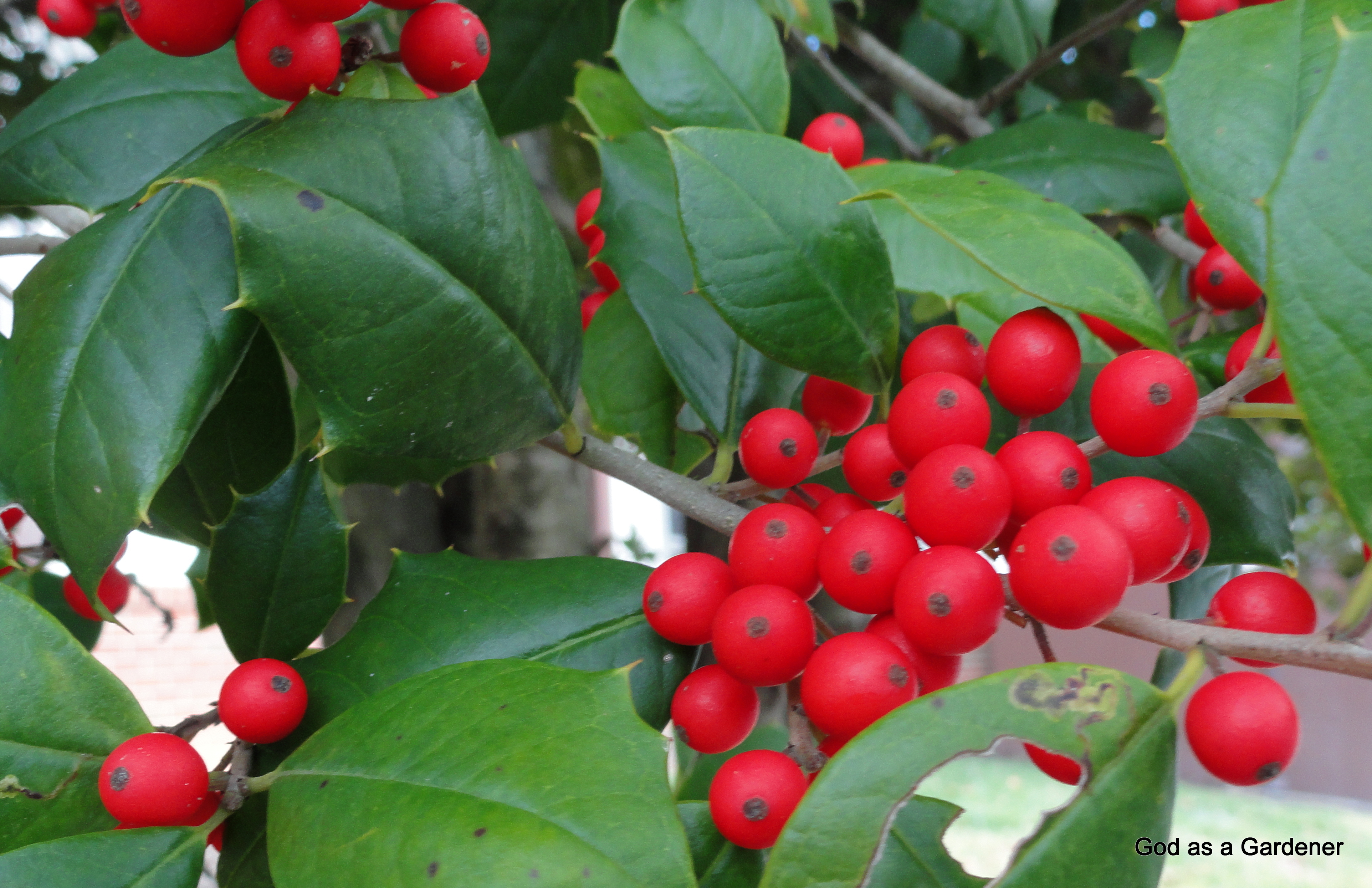 a christmas carol is the holly and the ivy - Holly Plant