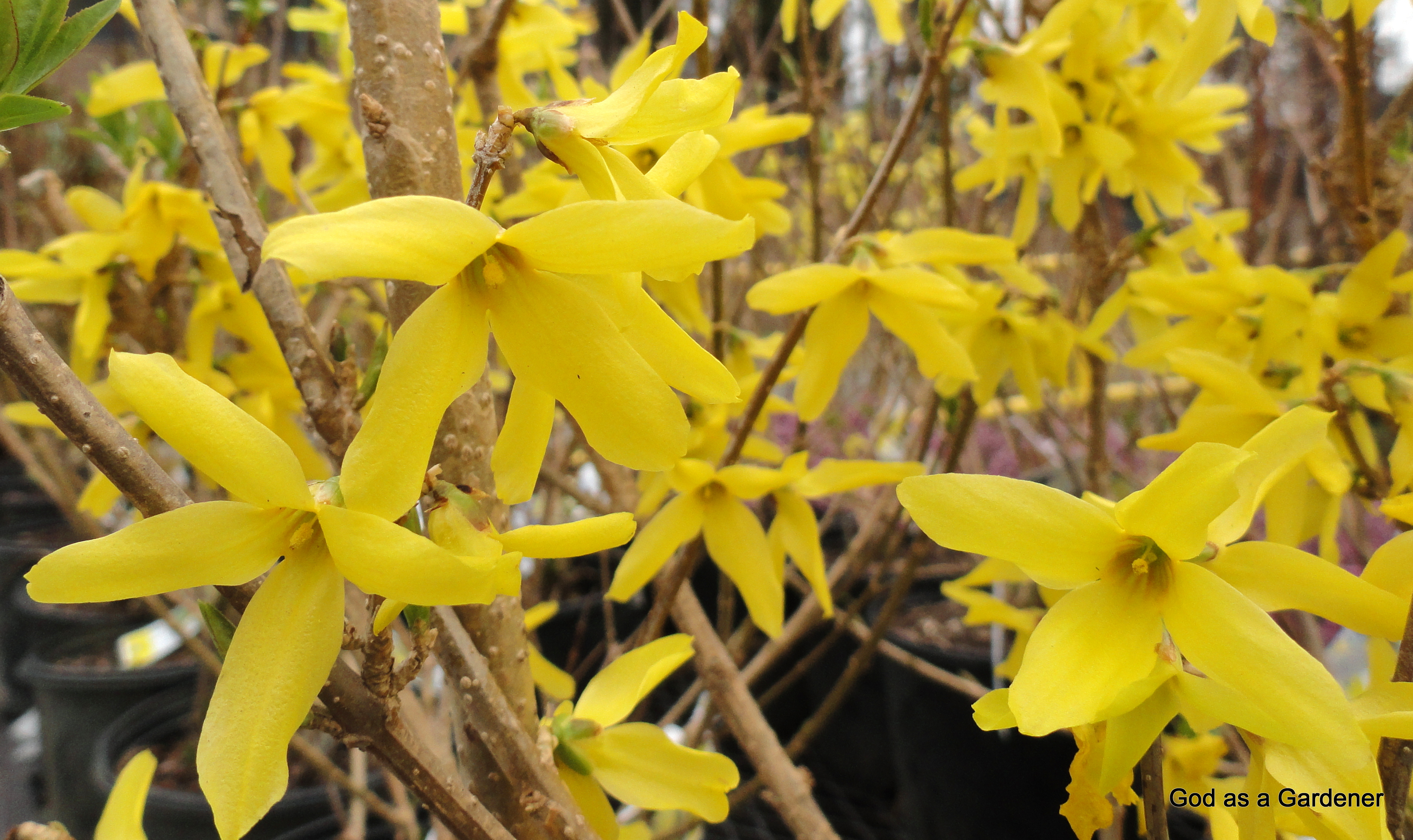 Forsythia Europaea God As A Gardener