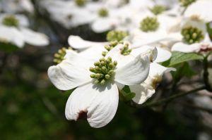dogwood-flowers-11