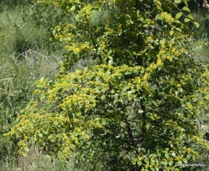 Jerusalem thorn bush (2)