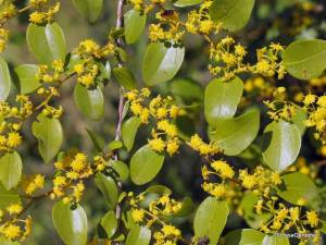 Jerusalem thorn flowers