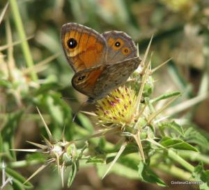 Centaurea iberica, butterfly