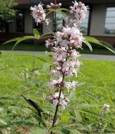 Chaste Tree Flower