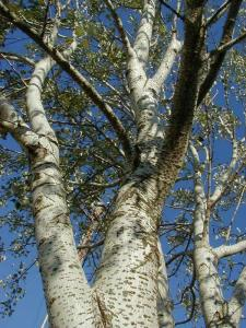 White poplar limbs