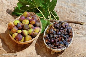 Baskets-of-good-and-bad-figs,-Jeremiah-24,-tb092506048-bibleplaces