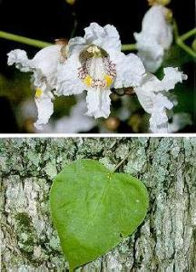 Catalpa spenosa flower