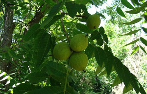 black-walnut-tree