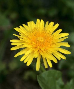 dandelion-flower2
