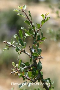 Rhamnus_lycioides_branch