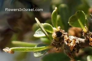 Rhamnus_lycioides_leaves