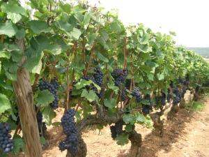 Pinot_noir_-_Bourgogne_(Santenay)