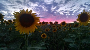 andreas-photo-of-sunflowers