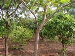 pterocarpus_santalinusi_pao229