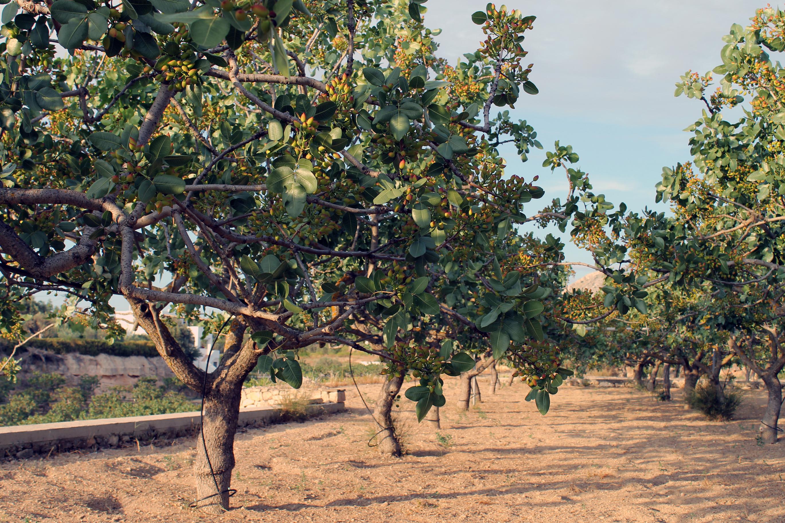 Pistachio Trees for Sale  FastGrowingTreescom