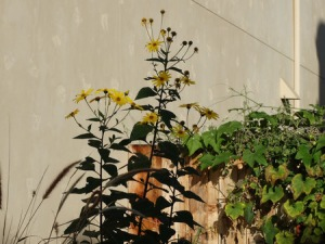 39484220 - jerusalem artichoke, helianthus tuberosus, sunroot, sunchoke, perennial herb with elongated tobers, green alternate leaves and yellow terminal heads, tubers used as root vegetable