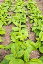 28174029 - topinambour helianthus tuberosus plants
